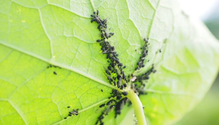 6 причин опадання зав'язей на огірках і як з цим боротися